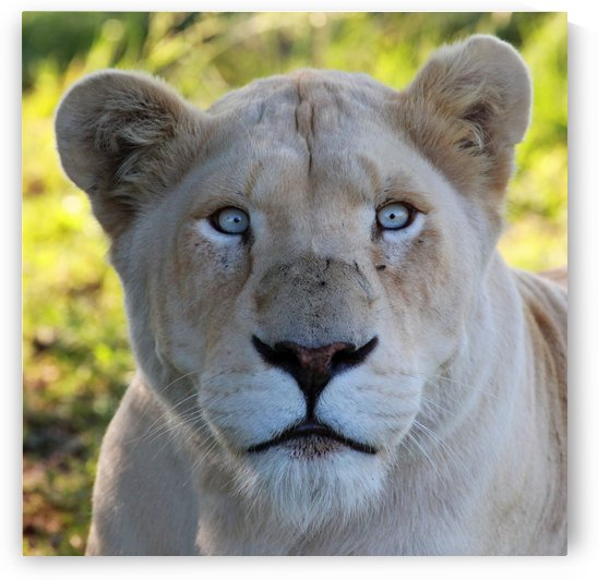 White Lion Femal 7977 square by Thula-Photography