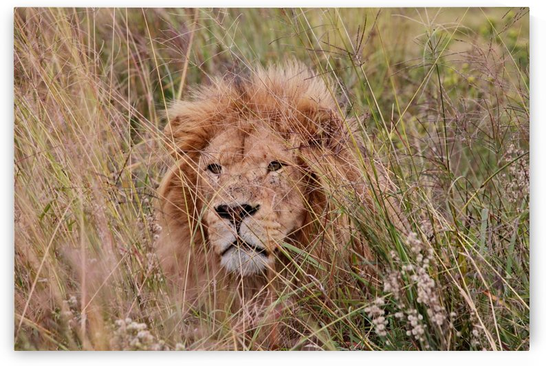 Lion Male 9011 by Thula-Photography