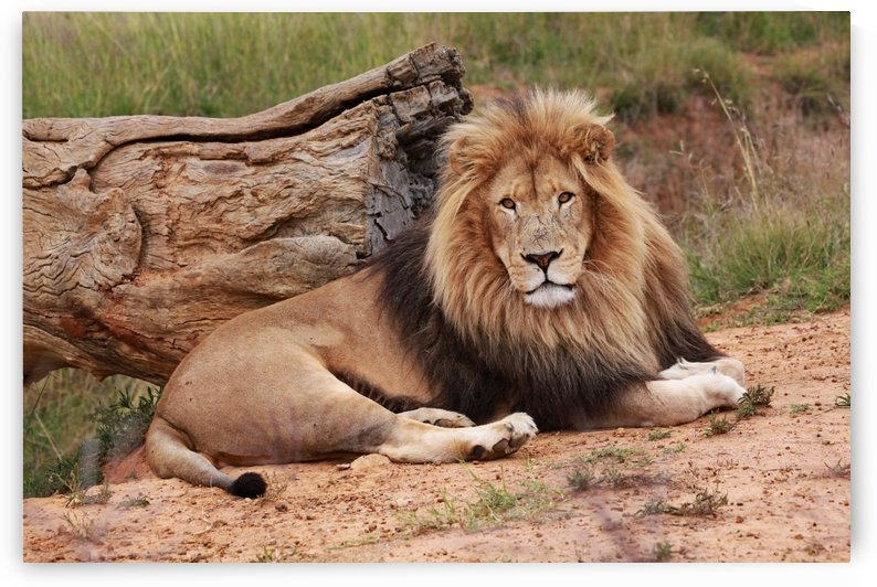 Brown Lion Male 9027 by Thula-Photography