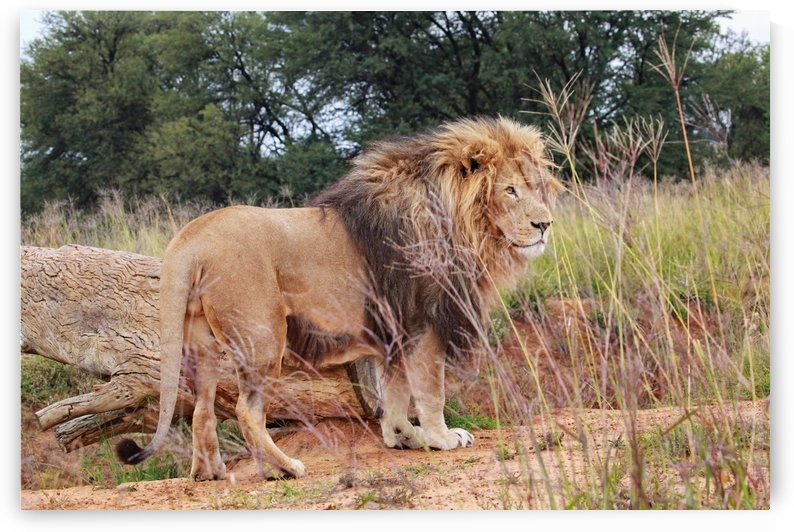Lion Male 9016 by Thula-Photography