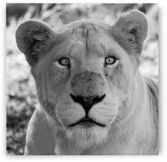 White Lion Female 7977 bw square by Thula-Photography