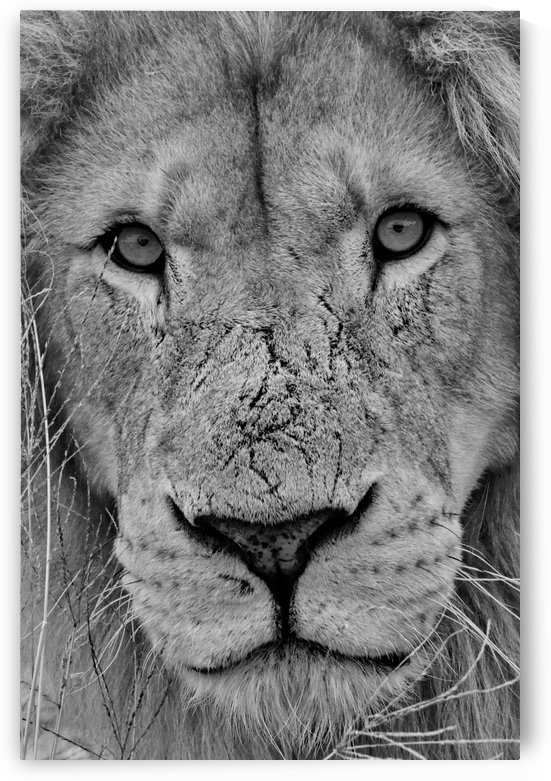 Lion Face black&white by Thula-Photography