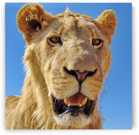 Lion close up square by Thula-Photography