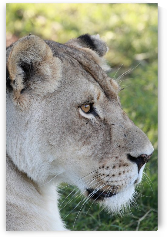 Lion Female by Thula-Photography