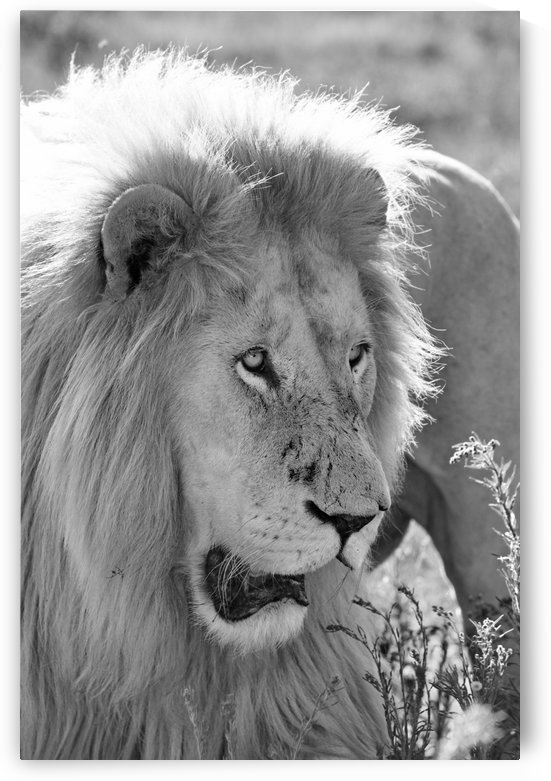 White Lion Male 7930 b+w by Thula-Photography