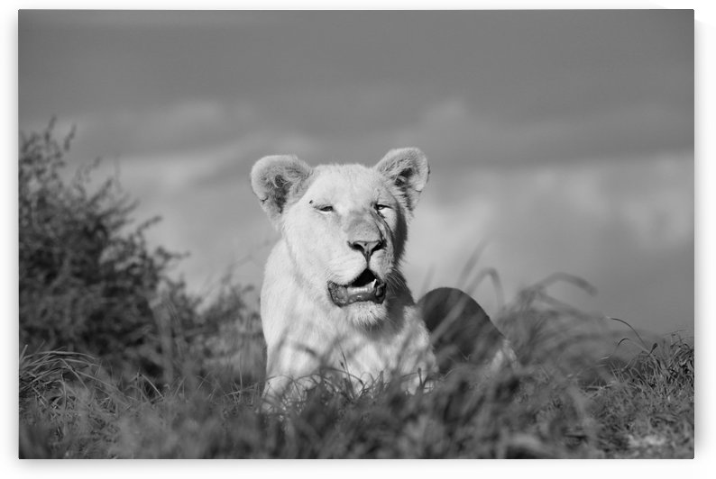 Young White Lion Male 8186 b+w by Thula-Photography