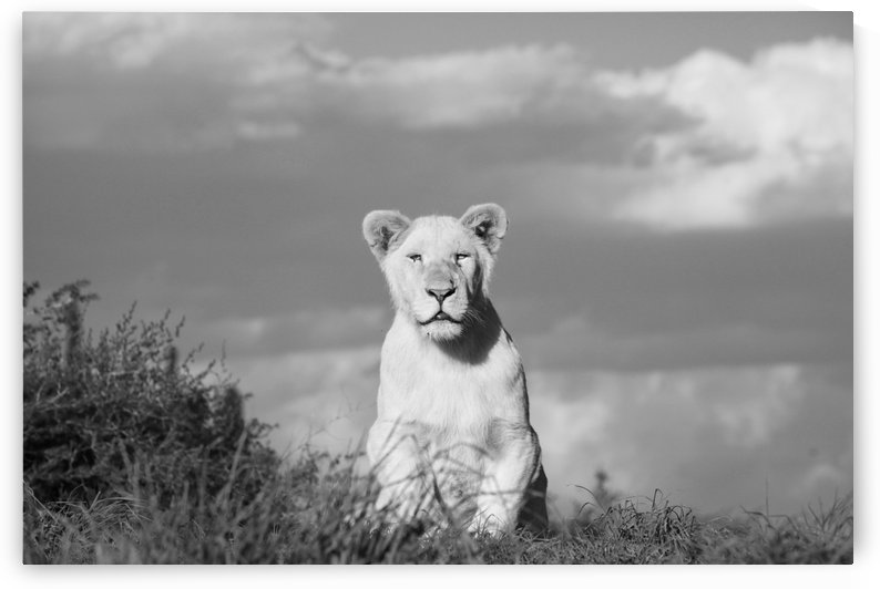 Young White Lion Male 8184 b+w by Thula-Photography