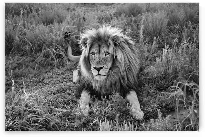 Lion Male 8086 b+w by Thula-Photography