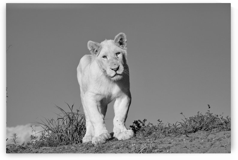 Young White Lion Male 8174 b+w by Thula-Photography