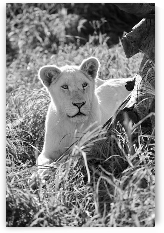 Young White Lion Male 8097 b+w by Thula-Photography
