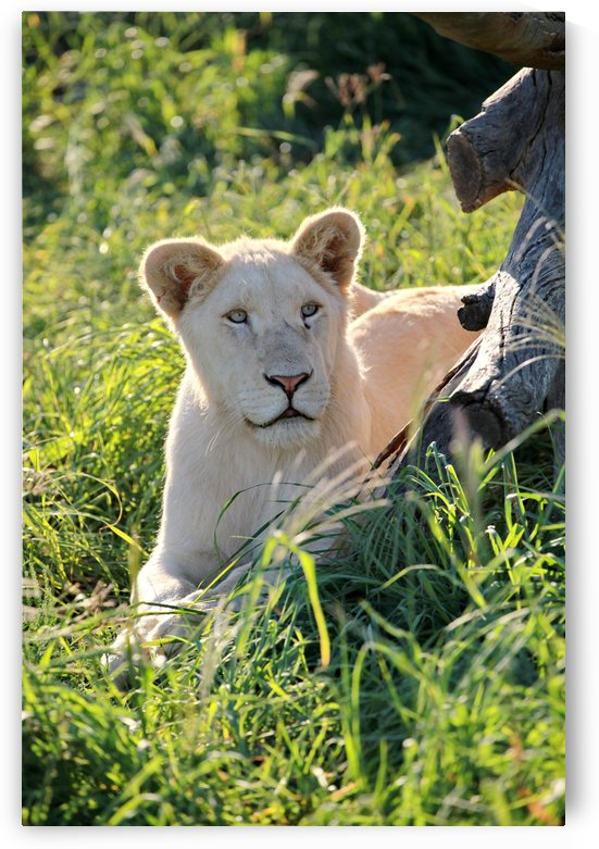 Young White Lion Male 8097 color  by Thula-Photography