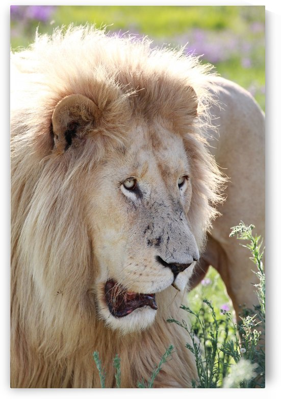 White Lion Male 7930 by Thula-Photography