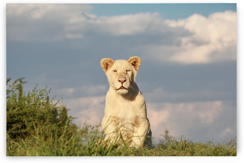 Young White Lion Male 8184 color by Thula-Photography