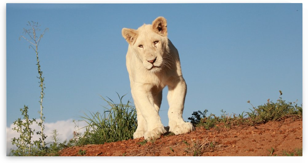 Young White Lion Male 8173 by Thula-Photography
