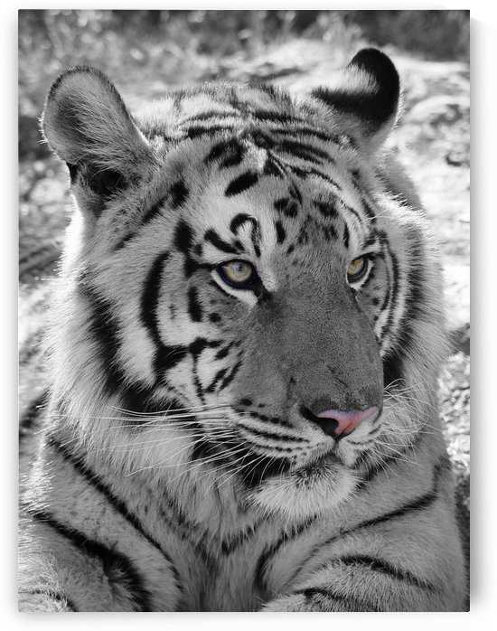 Tiger Portrait 2650 CK by Thula-Photography