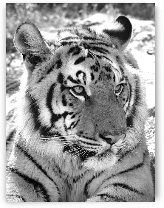 Tiger 2650 b+w by Thula-Photography
