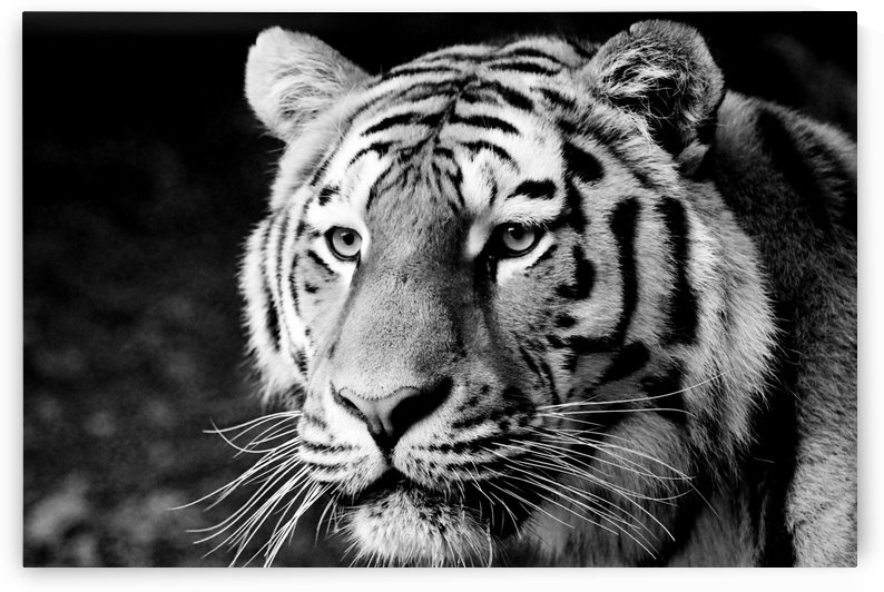 Tiger Face b+w by Thula-Photography