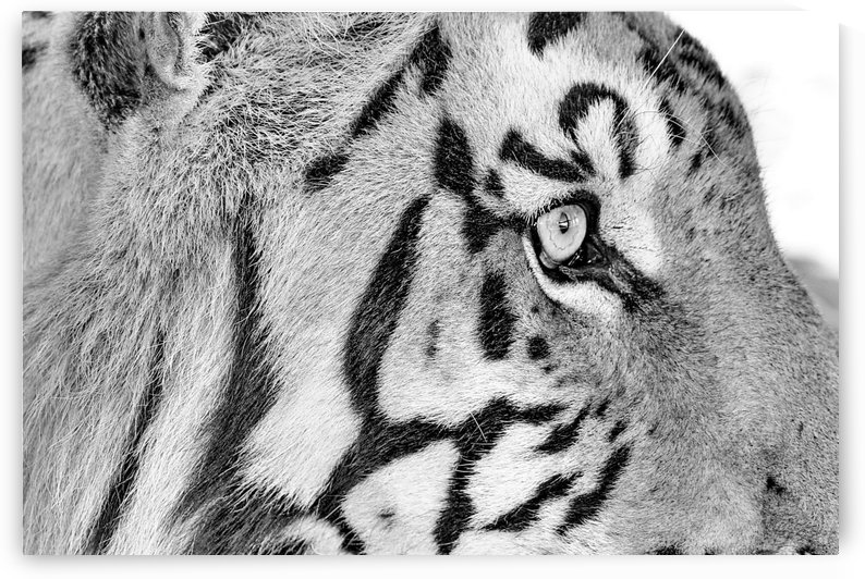 Tiger Eye 794 b+w by Thula-Photography
