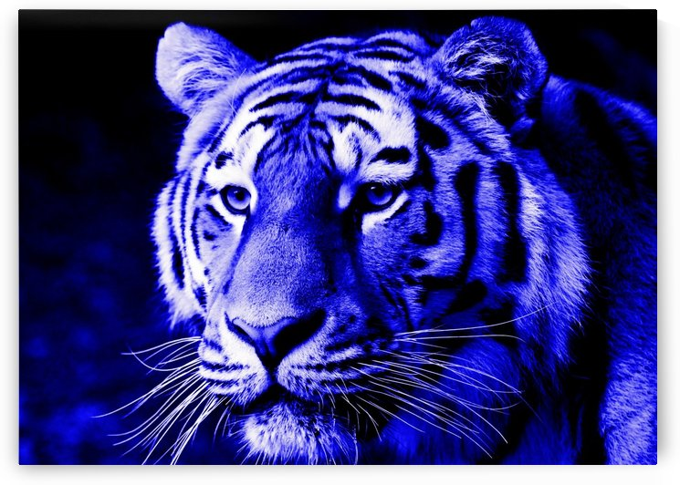 Tiger pop blue by Thula-Photography