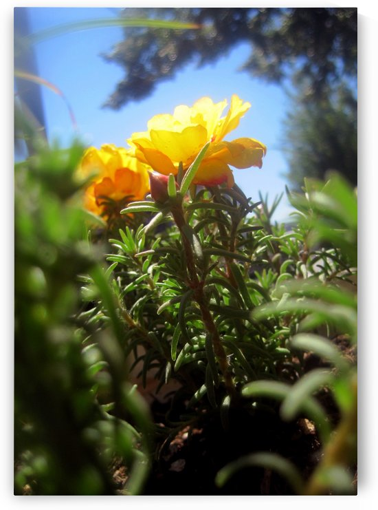 Yellow Balcony Garden Flower by Jaeda DeWalt