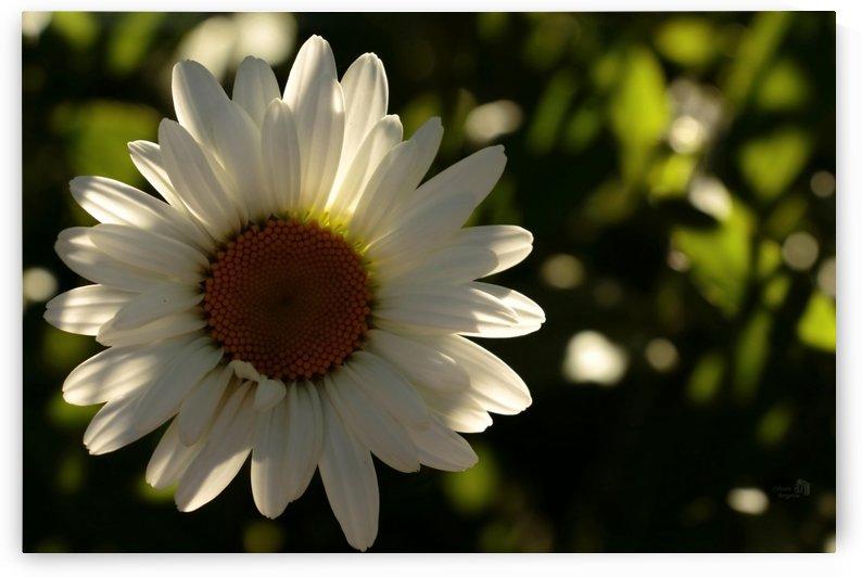 Beaute Marguerite 2- Daisy beauty 2 by Sylvain Bergeron Photographies