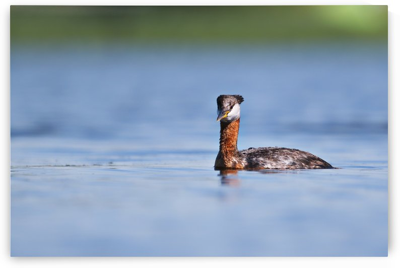 RED NECKED GREBE by RDilollo