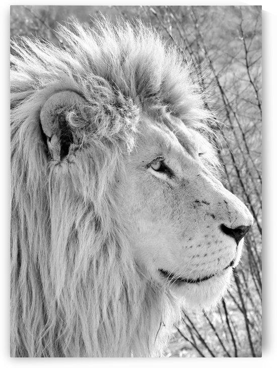 White Lion Portrait 4871 b+w by Thula-Photography