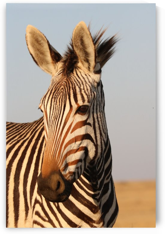 Hartmanns Mountain Zebra Portrait 4725 by Thula-Photography