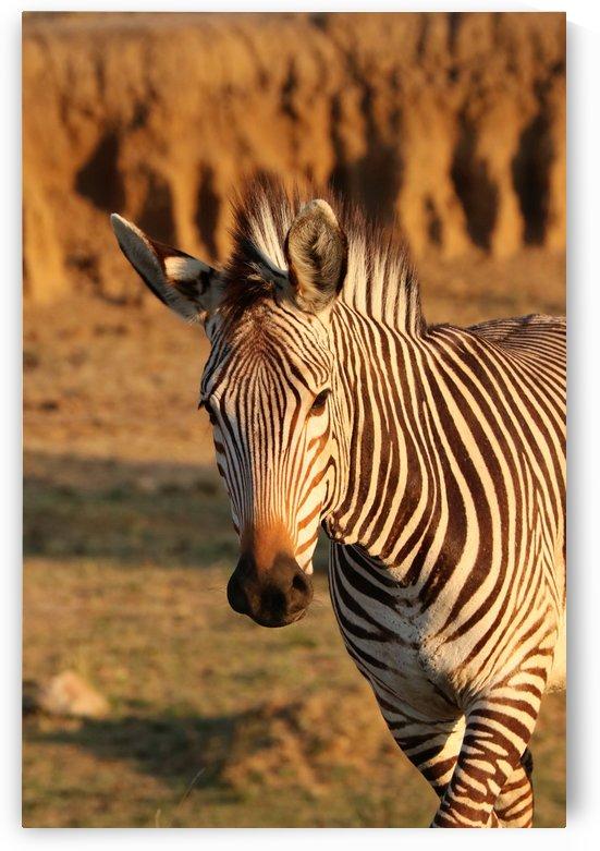 Hartmanns Mountain Zebra Portrait 5162 by Thula-Photography