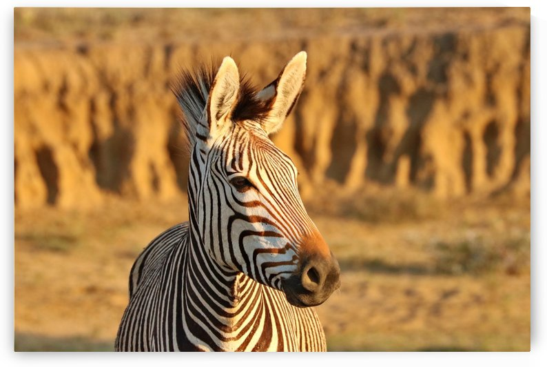 Hartmanns Mountain Zebra 5159 by Thula-Photography