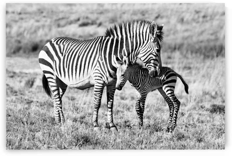 Zebra Mother with Baby 6845 b+w by Thula-Photography
