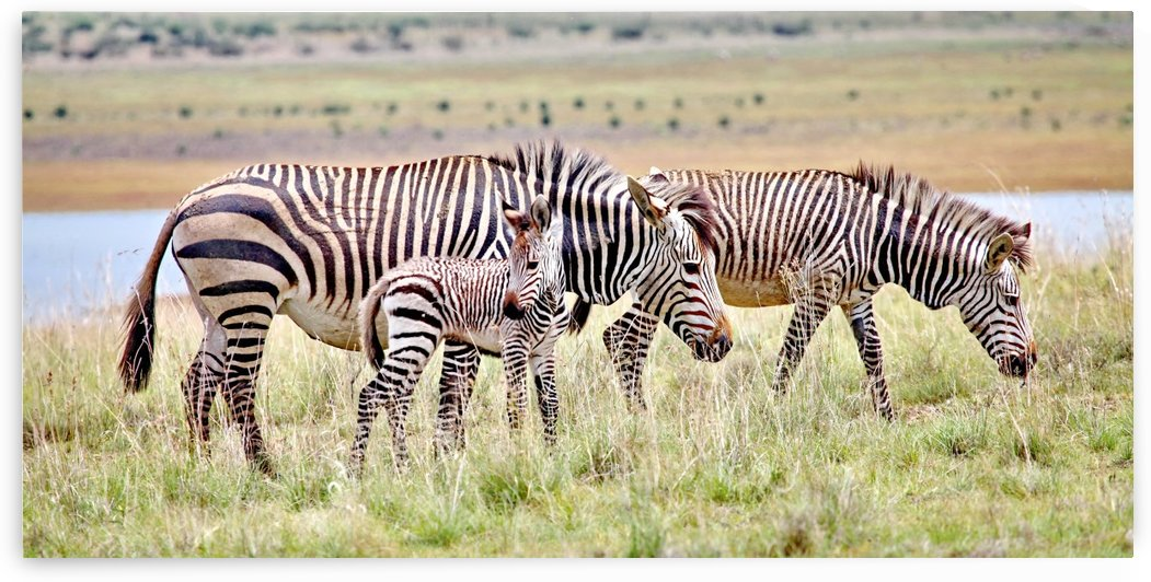 Mountain Zebras Pano 5800 by Thula-Photography