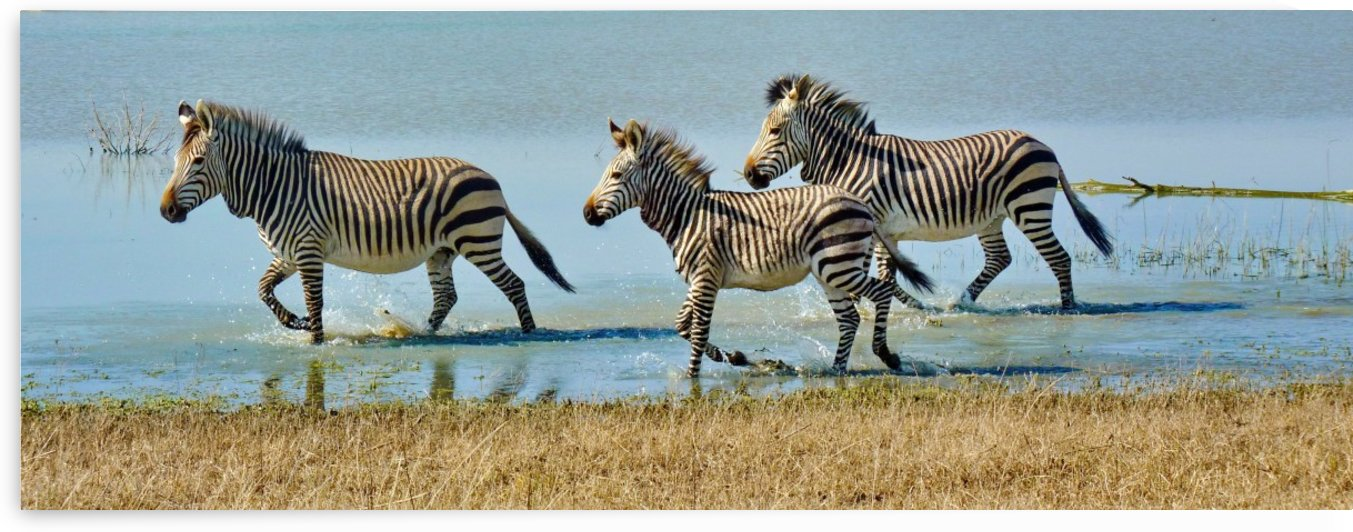 Mountain Zebras in the water Pano 1070199 by Thula-Photography