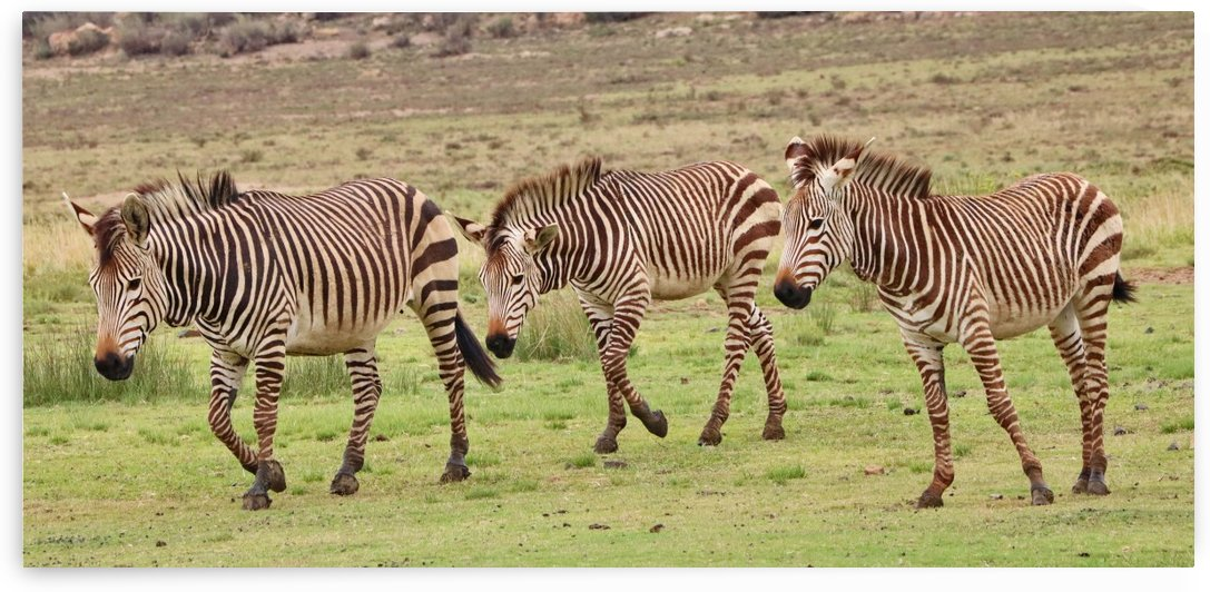 3 Mountain Zebras Pano 7447 by Thula-Photography