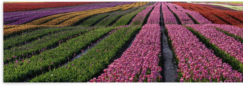 Tulip Bloom by fredmeyer
