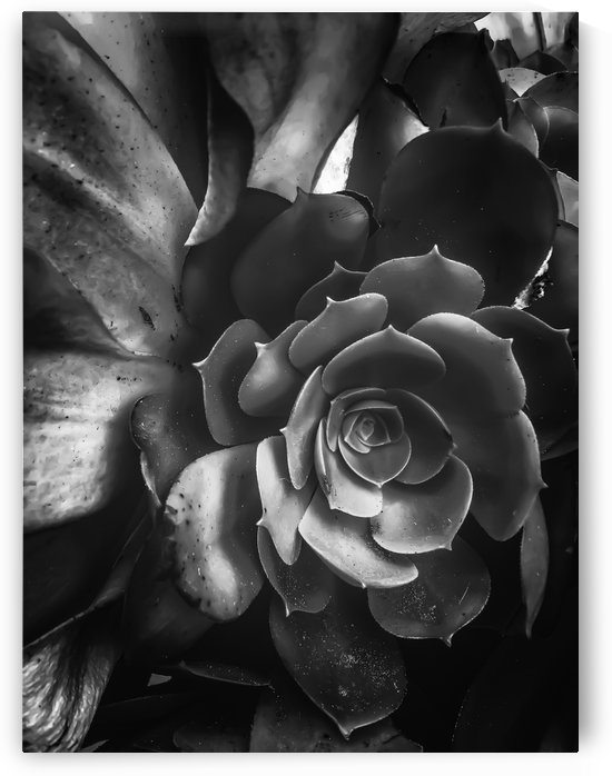 closeup succulent plant in black and white by TimmyLA
