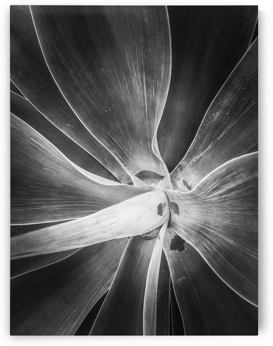 succulent plant texture in black and white by TimmyLA