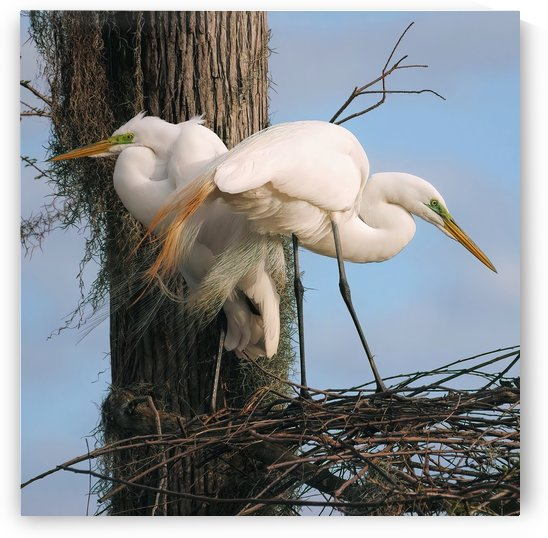Mating Season - Great Egrets I by Digicam
