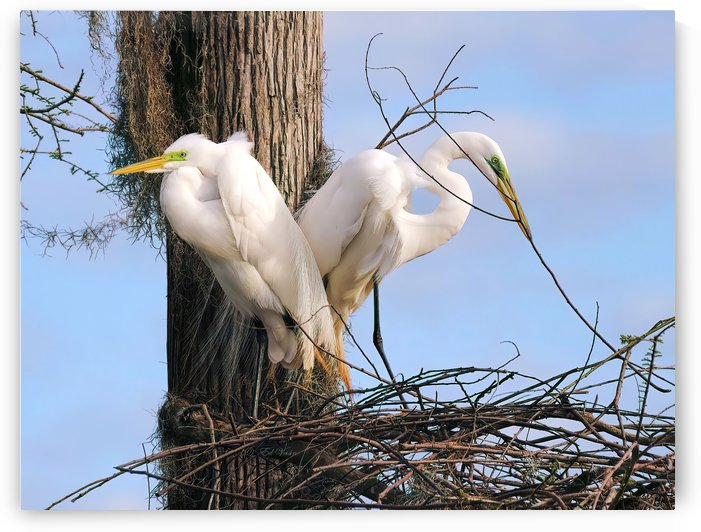 Mating Season - Great Egrets II by Digicam