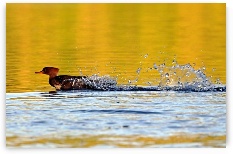 Merganser Antics by Deb Oppermann