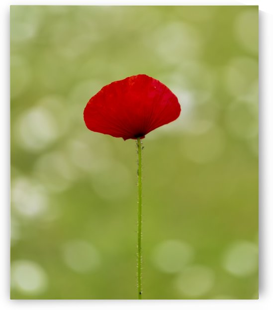 A solo Red Poppy by Leighton Collins