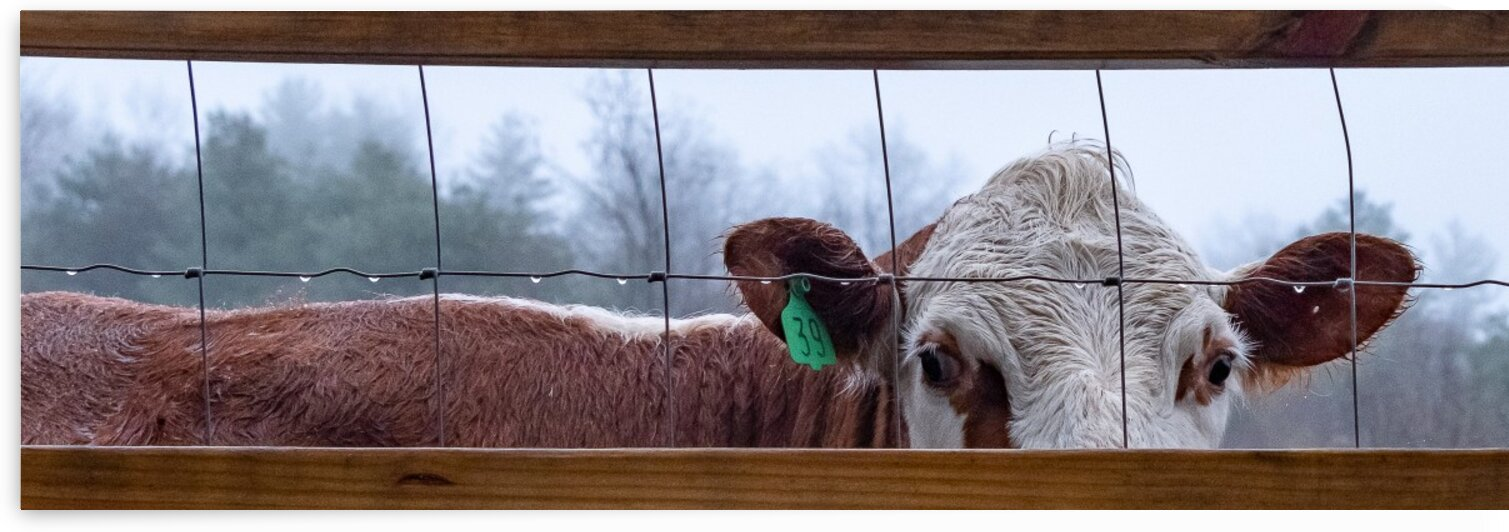 Peeking Through the Fence by Dave Therrien