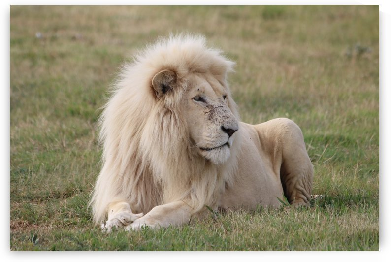 White Lion Male 2391 by Thula-Photography