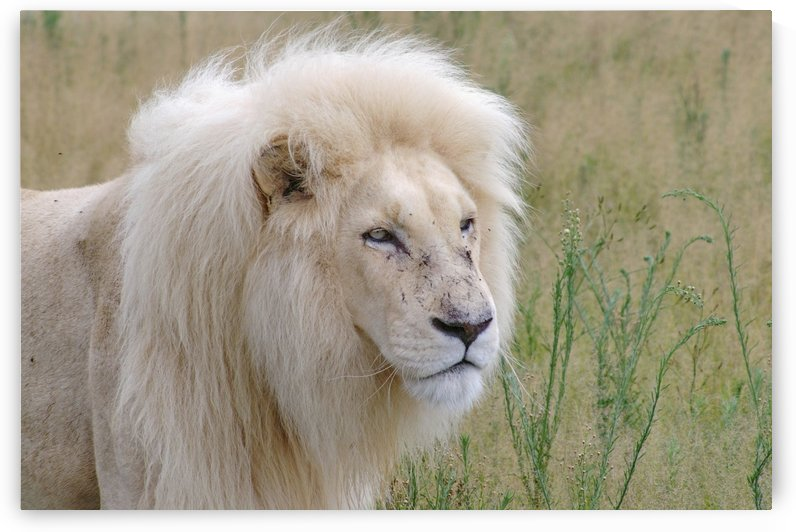 White Lion Male 7152 by Thula-Photography