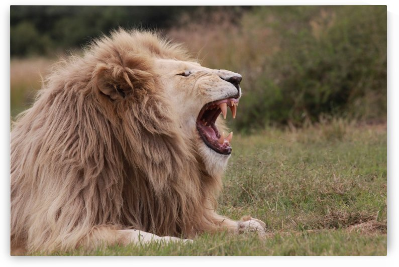 White Lion Male 8957 by Thula-Photography