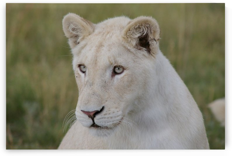 Young White Lion 7167 by Thula-Photography