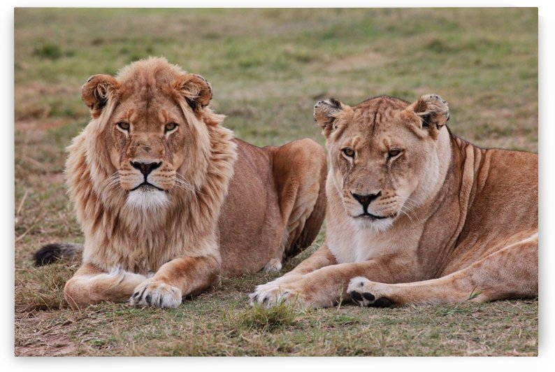 Lion Couple 9193 by Thula-Photography