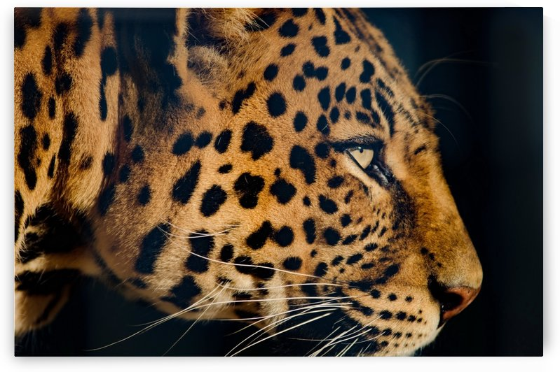 leopard portrait color by Thula-Photography