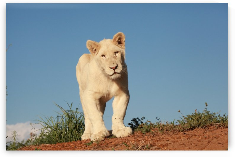 Young White Lion 8174 by Thula-Photography