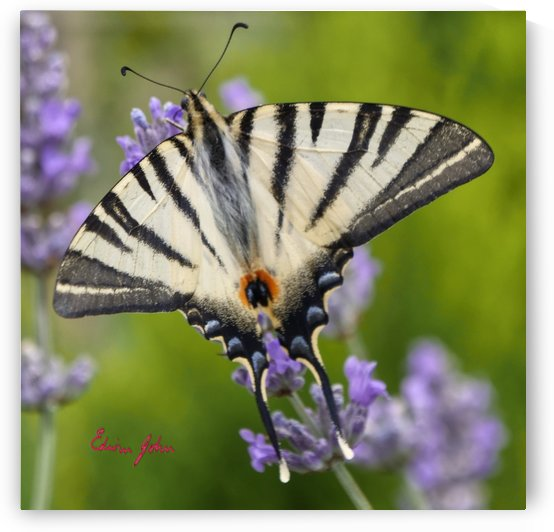 Scarce Swallowtail Iphiclides podalirius by Edwin John